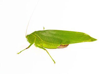 close up green grasshopper on white background