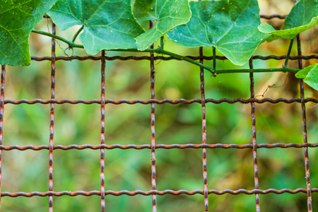 coccinia grandis: Vine (Coccinia grandis) growing on wire fence