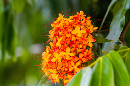 Saraca asoca (Saraca インディカ リン、アショーカ王; のカラフルなオレンジと黄色の花Saraca)