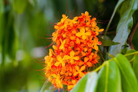 The colorful orange and yellow blooms of Saraca asoca (Saraca indica Linn, Asoka; Saraca)