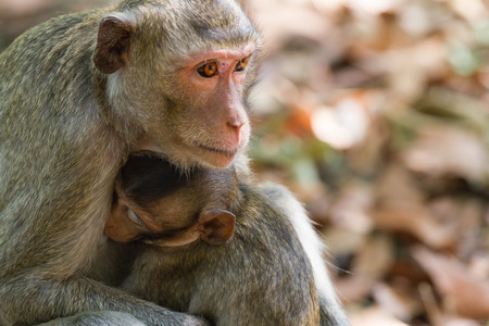 snuggle: Mother Crab-eating macaque feeding her baby at the park.