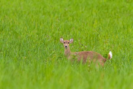 Hog deer (Hyelaphus porcinus)  stand alone on green grass at Phu Khieo Wildlife Sanctuary.Chaiyaphum Province,Thailand.
