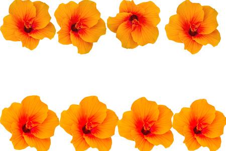 rosa: Macro of orange China Rose flower (Chinese hibiscus, Hibiscus rosa-sinensis , Hawaiian hibiscus , shoe flower ) isolate on white background