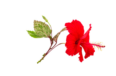 Macro of red China Rose flower (Chinese hibiscus flower, Hibiscus rosa-sinensis flower , Hawaiian hibiscus flower , shoe flower ) and green leaf  isolate on white background.Saved with clipping path.