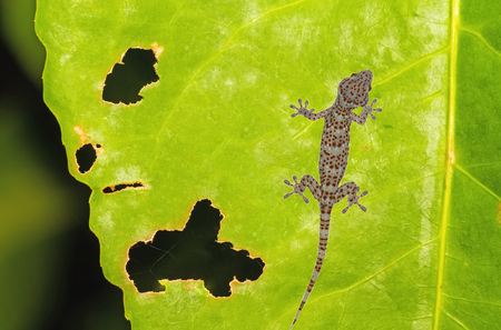Gecko (Xylotrupes Gideon) lonely on green leaf with holes, eaten by pests Stock Photo