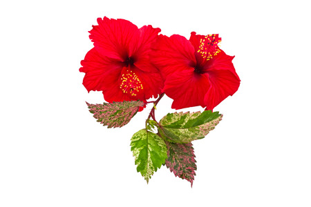 Macro of red China Rose flower (Chinese hibiscus flower, Hibiscus rosa-sinensis flower , Hawaiian hibiscus flower , shoe flower ) and green leaf  isolate on white background.