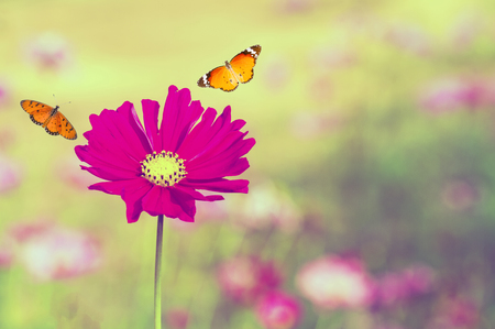 Pink cosmos flower (Cosmos Bipinnatus) with blurred background