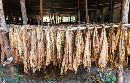 hung: Tobacco leaves drying in the shed.