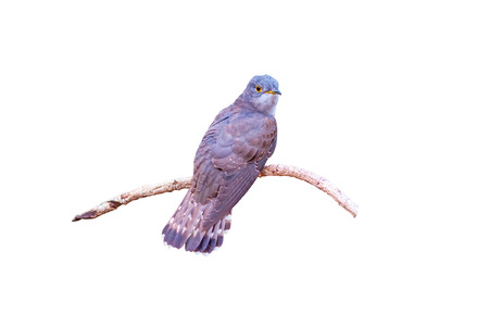 Beautiful of smallest Cuckoo bird and very rare , Indian Cuckoo (Cuculus micropterus),  standing on  branch showing it back profile  on white background