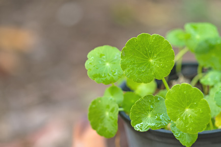 holistic view: Close up green Asiatic Pennywort (Centella asiatica , Hydrocotyle umbellata L or Water pennywort ) and water drop  in  pot on natural light,selective focus
