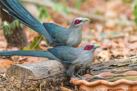 Beautiful family of Green billed Malkoha (Phaenicophaeus tristis) great of cuckoo bird  drinking water on tub
