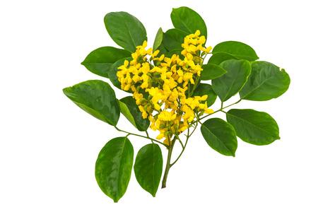 Gesloten omhoog gele bloem van Birmese Rosewood of Pterocarpus-indicus Willd, Birma Padauk en groen die blad op witte achtergrond wordt geïsoleerd Gespaard met het knippen van weg.