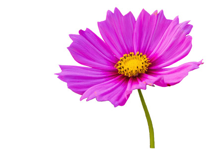 Pink cosmos flower (Cosmos Bipinnatus) on white background.Saved with clipping path.