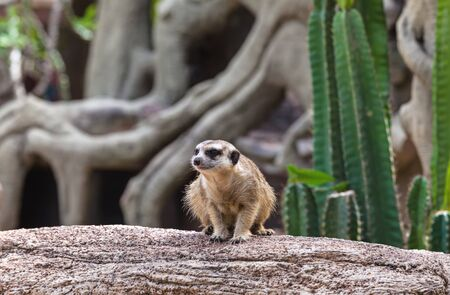 Lovely meerkat playing on branch Stock Photo