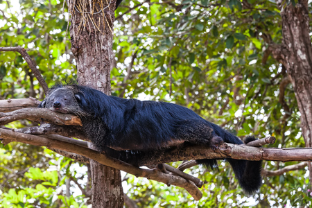 Arctictis binturong sleep on branch Stock Photo