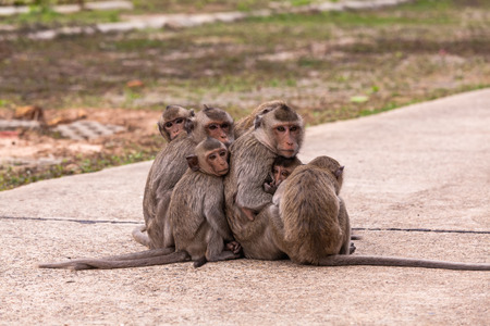 Family monkeys ( Crab-eating macaque )  cold in morning at the park of Thailand