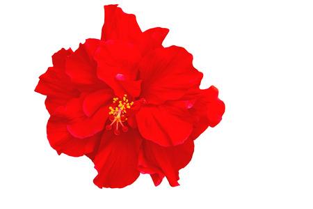 Macro of red China Rose flower (Chinese hibiscus, Hibiscus rosa-sinensis , Hawaiian hibiscus , shoe flower ) on natural light Stock Photo