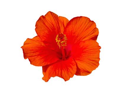 Macro of orange  China Rose flower (Chinese hibiscus, Hibiscus rosa-sinensis , Hawaiian hibiscus , shoe flower ) on natural light