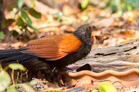 Beautiful bird Lesser coucal or crow pheasant (Centropus sinensis) drink water on branch in Doi Inthanon Natural Park, Chiangmai ,Thailand Stock Photo