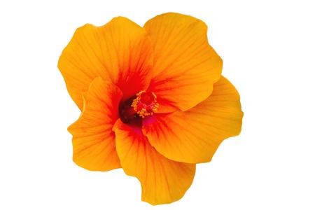 Macro of orange China Rose flower (Chinese hibiscus, Hibiscus rosa-sinensis , Hawaiian hibiscus , shoe flower )