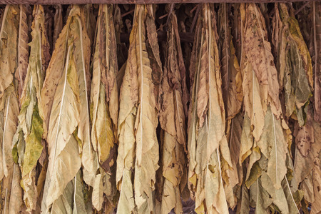 sere: Tobacco leaves drying in the shed.