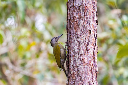 vittatus: A female Laced Woodpecker(Picus vittatus) drilling pines for food at Nam Nao national park ,Thailand