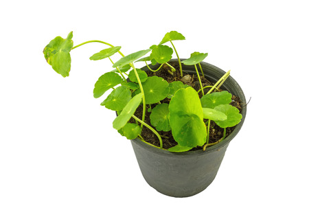 Close up green Asiatic Pennywort (Centella asiatica , Hydrocotyle umbellata L or Water pennywort ) in black plastic pot on white background.Saved with clipping path. Stock Photo