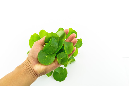 Heart shape of green Asiatic Pennywort (Centella asiatica , Hydrocotyle umbellata L or Water pennywort ) and hand of man on white background Stock Photo