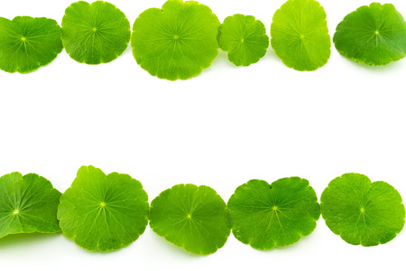 Green Asiatic Pennywort (Centella asiatica , Hydrocotyle umbellata L or Water pennywort ) on white background