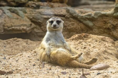 Lovely meerkat playing on sand