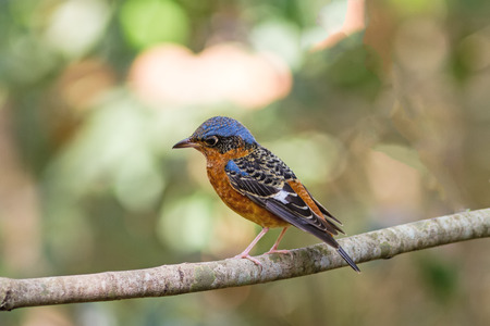 Beautiful of bird White-throated Rock Thrush  sing asong on branch in Khao Yai national park ,Thailand