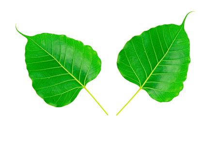 pipal: Double Sacred fig leaf (Ficus religiosa L. , Pipal Tree, Bohhi Tree, Bo Tree, Peepul ) on white background