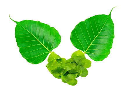pipal: Heart shape of Green Asiatic Pennywort leaf (Centella asiatica ) and Sacred fig leaf (Ficus religiosa L. , Pipal Tree, Bohhi Tree, Bo Tree, Peepul ) on white background