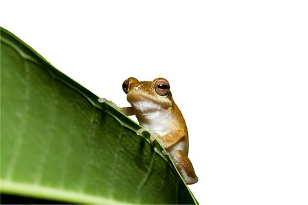 common hop: Close up golden tree frog on tree isolated on white background.Saved with clipping path.