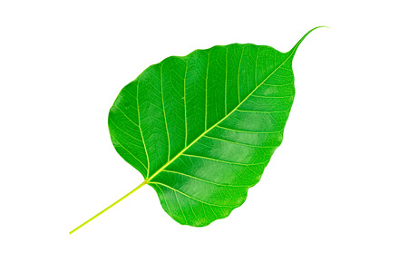 pipal: Sacred fig leaf (Ficus religiosa L. , Pipal Tree, Bohhi Tree, Bo Tree, Peepul ) on white background.Saved with clipping path.