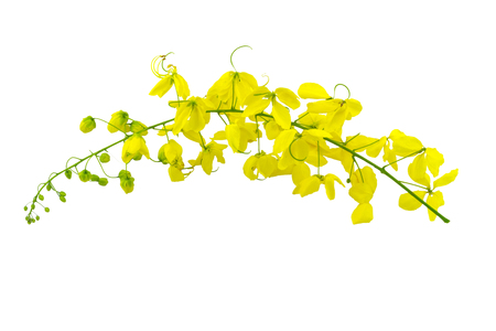 Flowers of Cassia fistula or Golden shower, national tree of Thailand isolated on white background.Saved with clipping path.