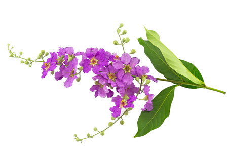 pers: Queens crape myrtle flowers or Queens flower, Lagerstroemia inermis Pers,Pride of India, Jarul isolated on white background.Saved with clipping path.