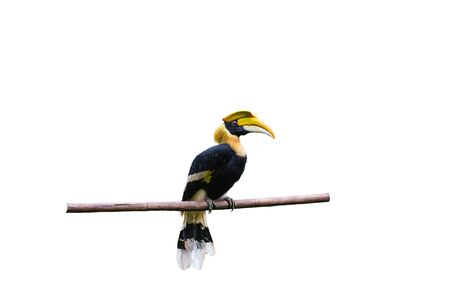 largest tree: Yellow Billed Hornbill Great hornbill, Great indian hornbill, Great pied hornbill, Hornbill, Focus through the cage, Selective focus Stock Photo