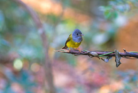 Lovely bird Grey-headed Canary-flycatcher or Grey-headed Flycatcher (Culicicapa ceylonensis) is a species of small flycatcher-like bird found in tropical Asia on branch Stock Photo