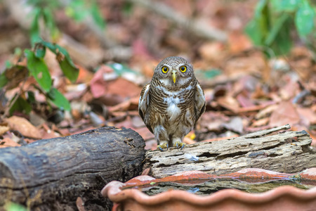 Close up beautiful bird  Asian Barred Owlet (Glaucidium cuculoides) is a species of true owl drinking water on tub Stock Photo
