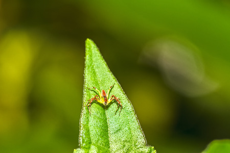 spiny: Lynx Spider, Yellow body and black legs ambush small insects as food on green leaf Stock Photo