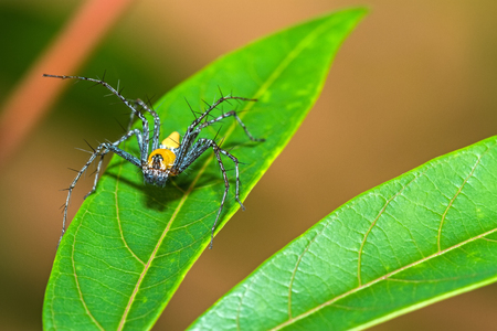 Lynx Spider, Yellow body and black legs ambush small insects as food on green leaf Stock Photo