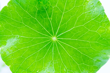 Close up detail green leaf of Green Asiatic Pennywort (Centella asiatica , Hydrocotyle umbellata L or Water pennywort ) Фото со стока