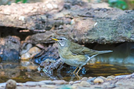 Beautiful bird Eyebrowed Thrush(Turdus obscures) drink water on tub at DoiInthanon Natural Park, Chiangmai ,Thailand
