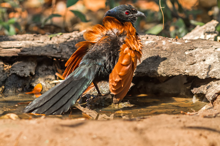 Beautiful bird greater coucal or crow pheasant (Centropus sinensis) drink water on branch in DoiInthanon Natural Park, Chiangmai ,Thailand