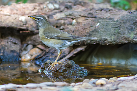 Beautiful bird Eyebrowed Thrush(Turdus obscures) drink wateriland