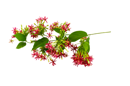 Colorful flower Drunen sailor, Rangoon creeperQuisqualis Indica flower plant , Chinese honeysuckle, Rangoon Creeper, Combretum indicum on white background.Saved with clipping path Stock Photo