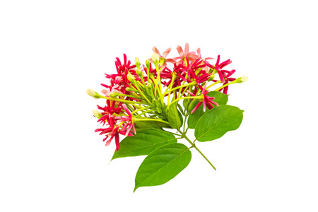 Colorful flower Drunen sailor, Rangoon creeperQuisqualis Indica flower plant , Chinese honeysuckle, Rangoon Creeper, Combretum indicum on white background. Stock Photo
