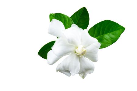 White gardenia (jasminoides,Gardenia jasmine) and green leaf  isolated on white.Saved with  clipping path