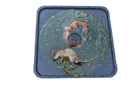 Dirty rat captured on convenient and effective disposable non-toxic glue trap board with bait on cement background Stock Photo